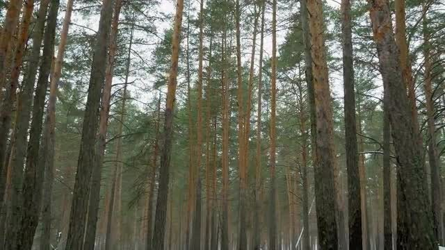 Driving Through A Pine Forest: Stock Video