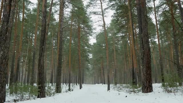 Snow In A Pine Forest: Stock Video