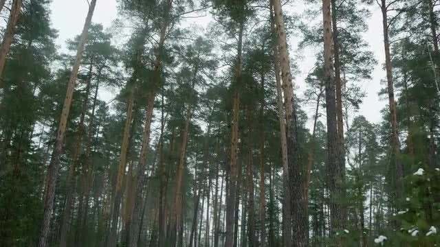 Pine Forest During Winter: Stock Video