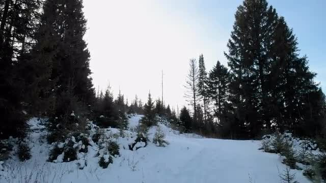 Fly Past Fir Trees In a Snowy Forest: Stock Video