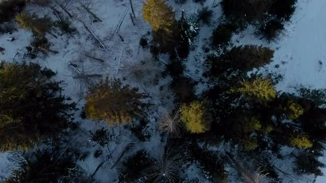 Overhead Shot Of Pine Trees: Stock Video