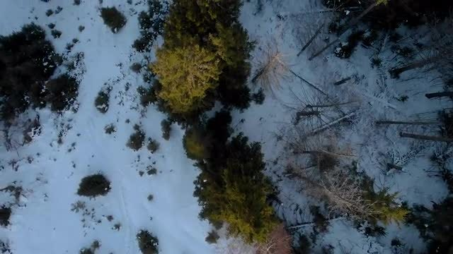 Snow-covered Forest With Dying Trees: Stock Video