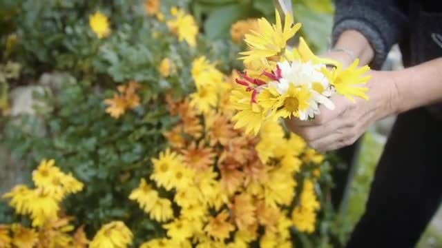 Cutting Yellow Flowers Outdoors: Stock Video