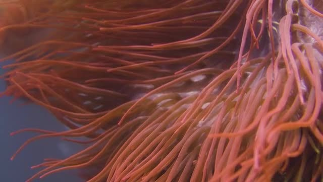 Sea Anemone Under The Water: Stock Video