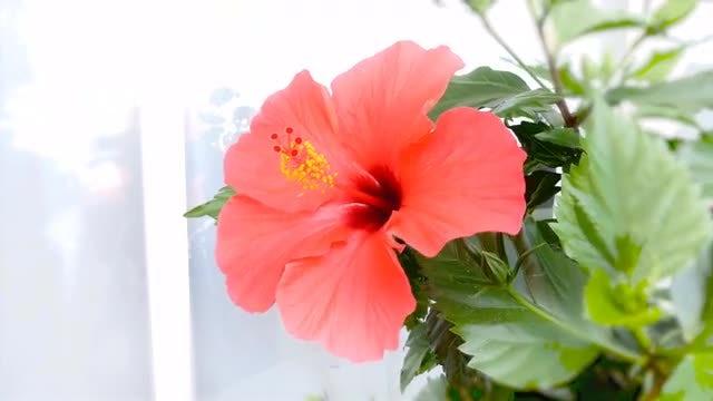 Hibiscus Flower: Stock Video