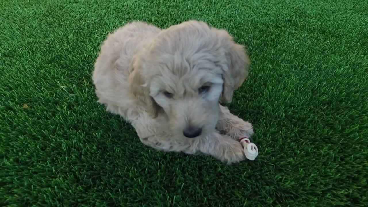 Golden Doodle Puppy Chewing Bone Stock Video Motion Array