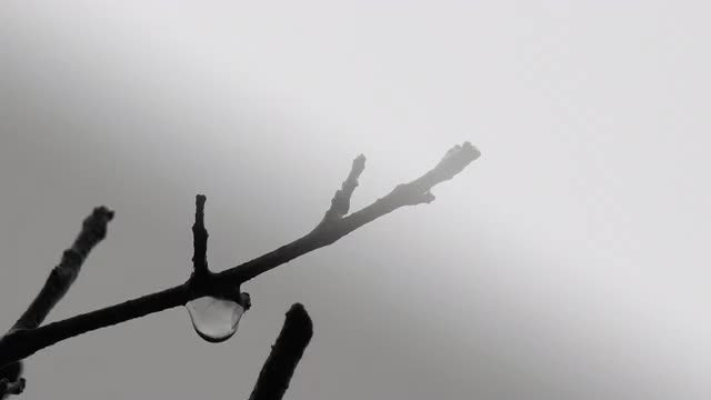 Water Drop Falling From Branch: Stock Video