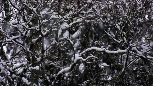 Snow-Covered Branches: Stock Video