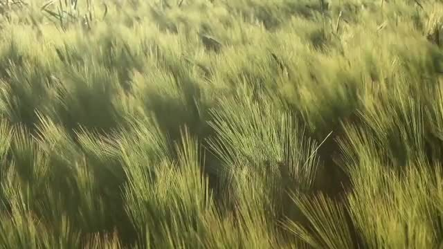 Field Crops: Stock Video