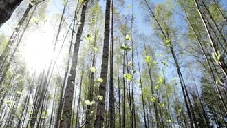Sunny Birch Tree Forest: Stock Video