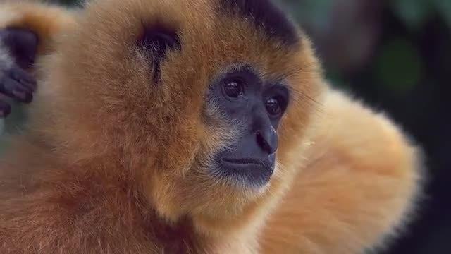Gibbon Monkey Slow Motion: Stock Video