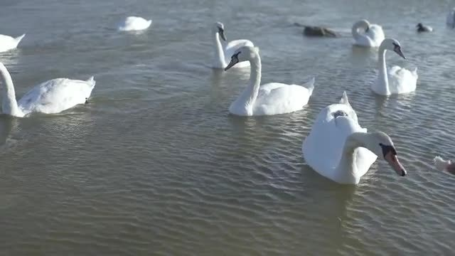 Bevy Of Swans: Stock Video