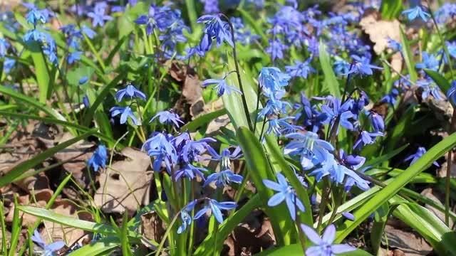 Bluebells Wild Spring Flowers: Stock Video