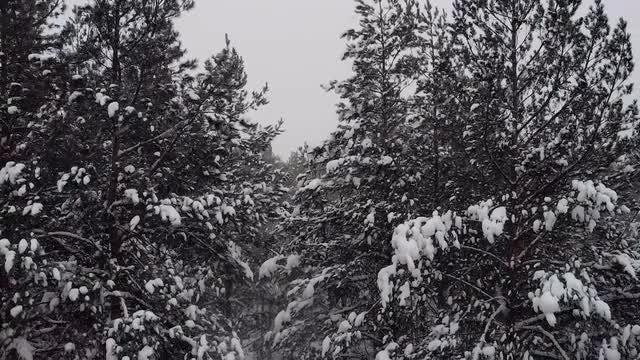 Tilting Shot Of Pine Forest: Stock Video