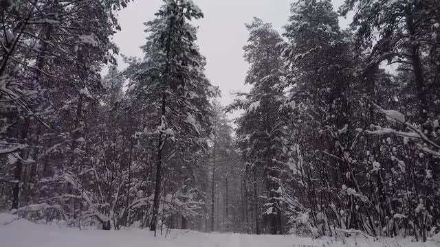 Snow Falling On Pine Forest: Stock Video
