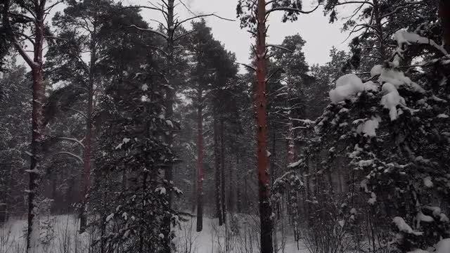 Flying Between Snow-Covered Pines Trees: Stock Video
