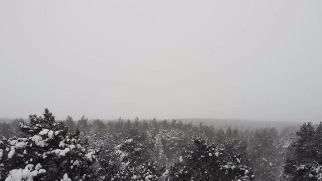 Tilting Shot Of Pine Tree: Stock Video
