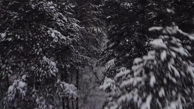 Pine Trees: Stock Video