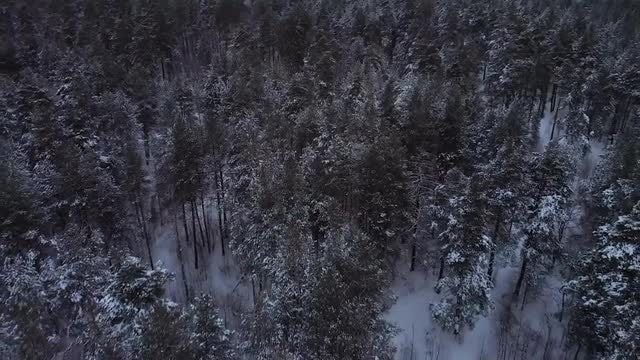 A Coniferous Forest: Stock Video