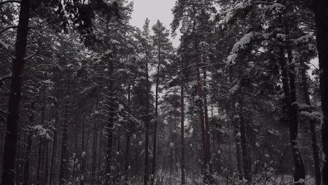 Inside The Coniferous Forest: Stock Video