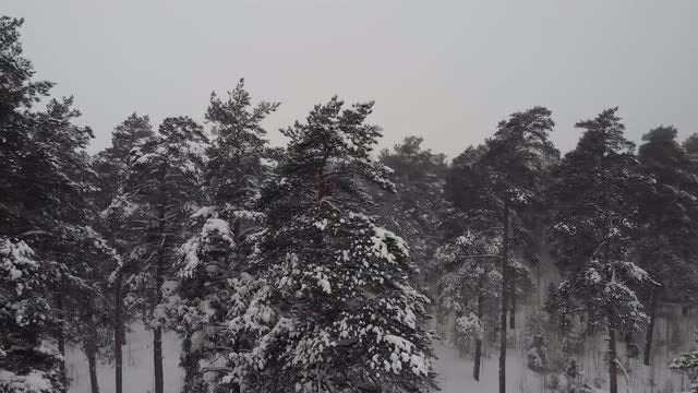 Coniferous Forest In Winter Blizzard: Stock Video