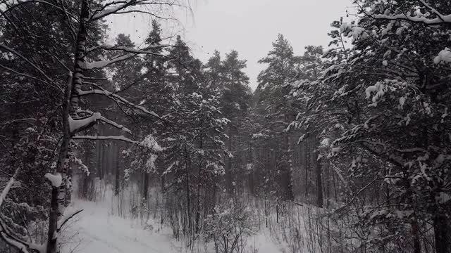 Winter Forest In The Daytime: Stock Video