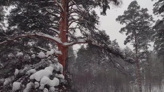 Pine Trees In Winter: Stock Video