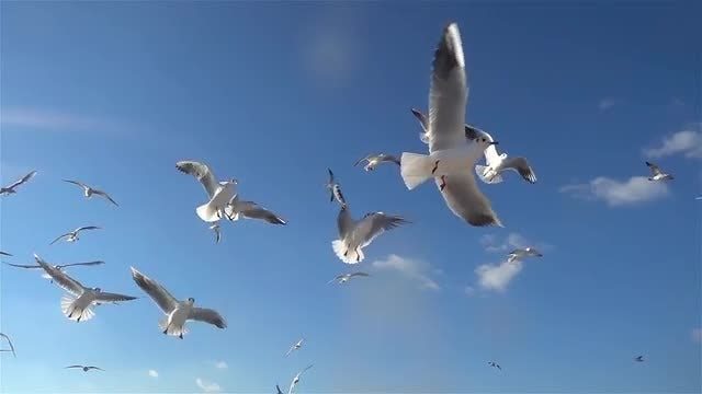 Feed A Seagull Bird Flying In The Blue Sky: Stock Video