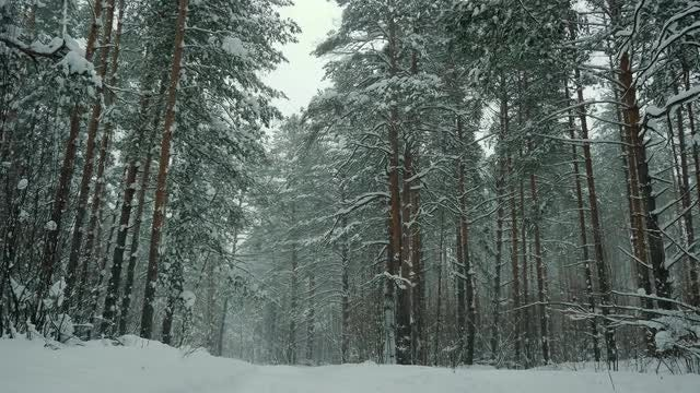 Forest With Pine Trees In Winter: Stock Video