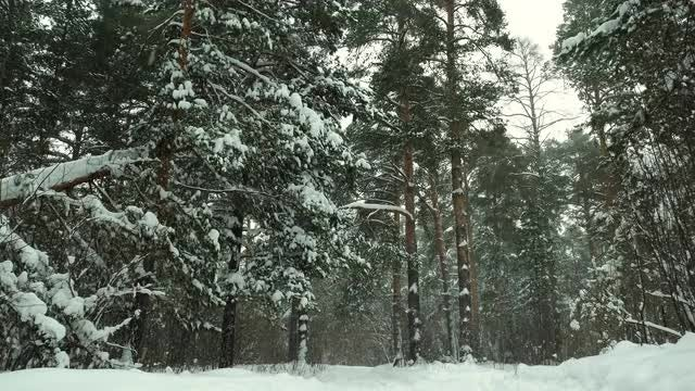Forest Landscape On Snowy Day: Stock Video