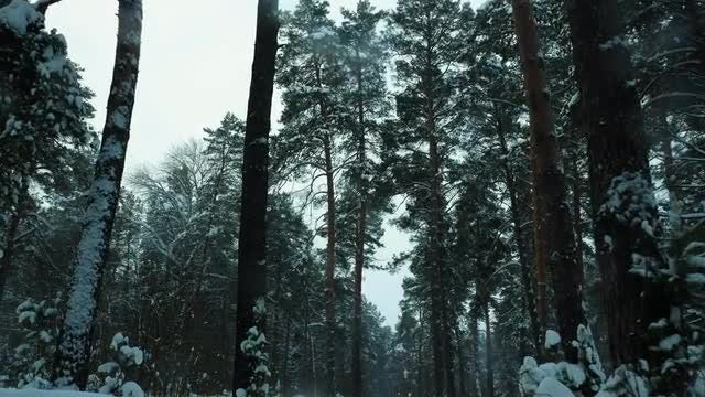 Looking From The Bottom Up In Winter Forest: Stock Video