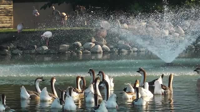 Migratory Birds Floating In The Park Lake: Stock Video