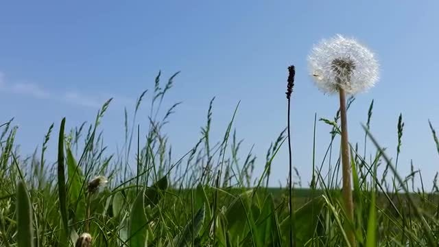Dandelion In The Grass: Stock Video