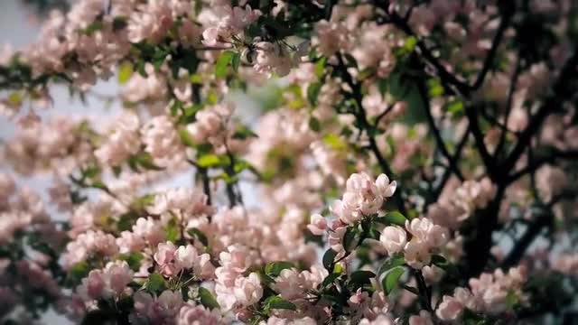 Blossoming Apple Tree: Stock Video