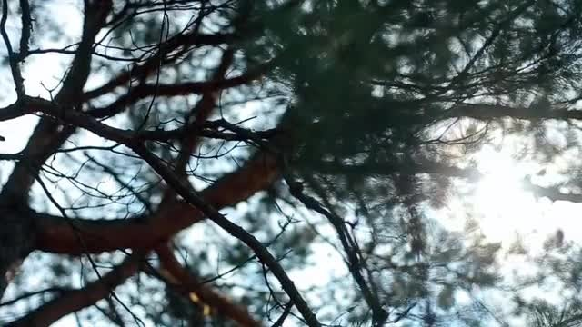 Pine Branches Silhouette: Stock Video
