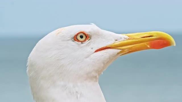 Seagull In Focus: Stock Video