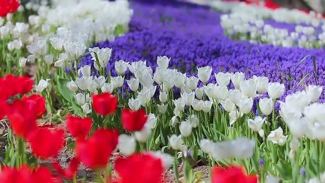 Tulips: Stock Video