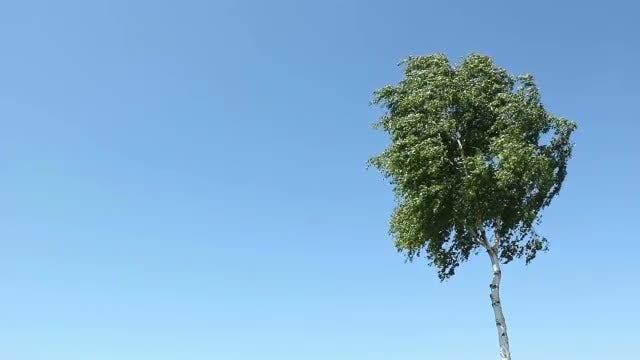 Lonely Birch Tree: Stock Video