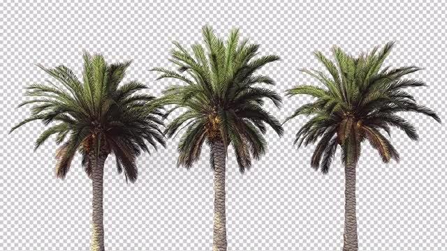 Three Palm Trees: Stock Motion Graphics