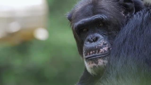 Chimpanzee: Stock Video