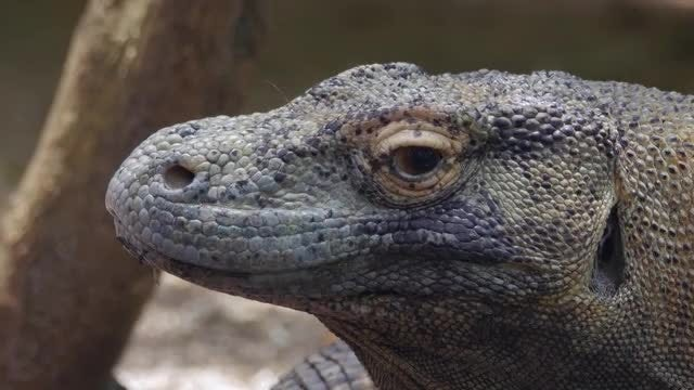 Komodo Dragon: Stock Video