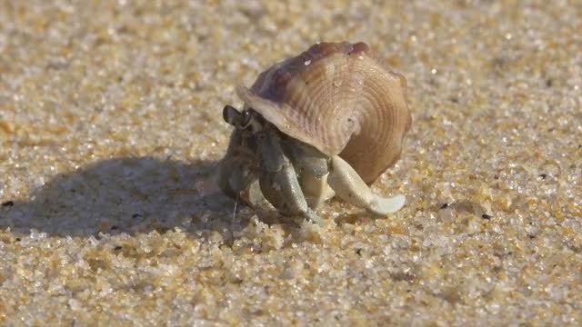 Hermit Crab: Stock Video