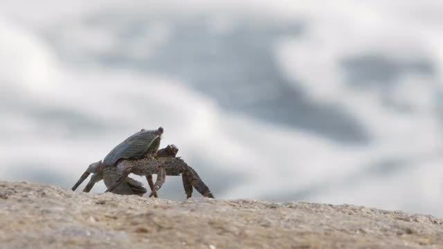 Crab: Stock Video