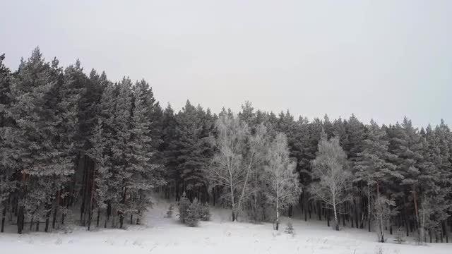 Fir Trees: Stock Video