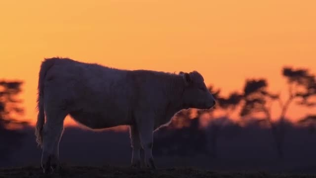 Cattle: Stock Video