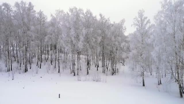 Birch Winter Forest: Stock Video