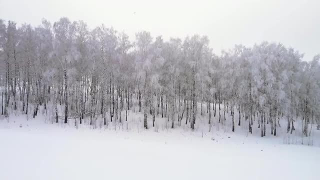 Wintery Birch Forest: Stock Video