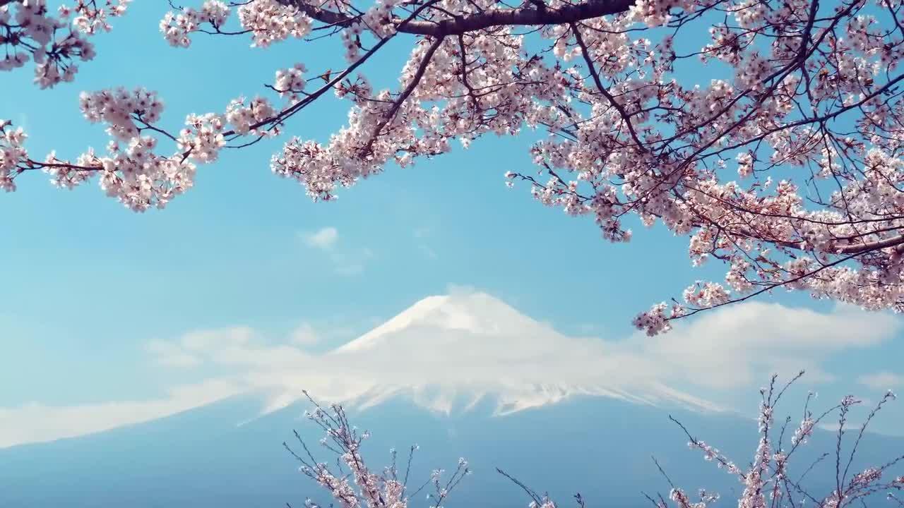 Sakura Flowers And Fuji Mountain - Stock Video | Motion Array