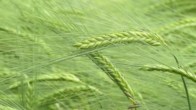 Closeup Of Barley: Stock Video