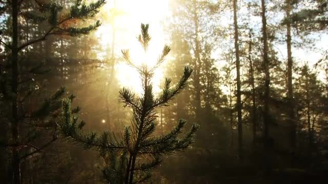 Morning Forest: Stock Motion Graphics